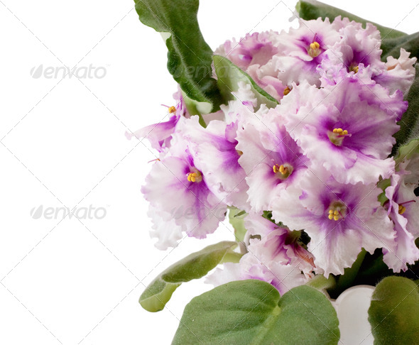 Violets - Stock Photo - Images