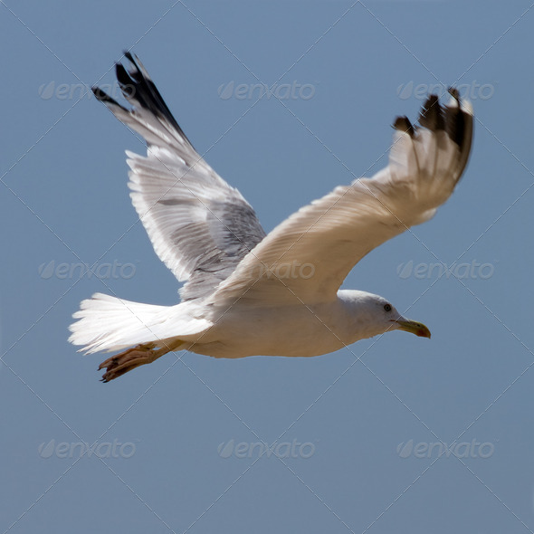 Seagull  - Stock Photo - Images