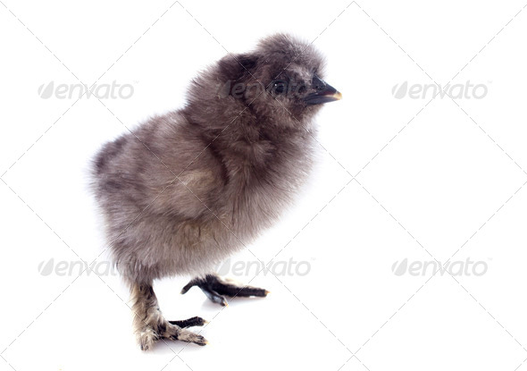 young Silkie chick - Stock Photo - Images