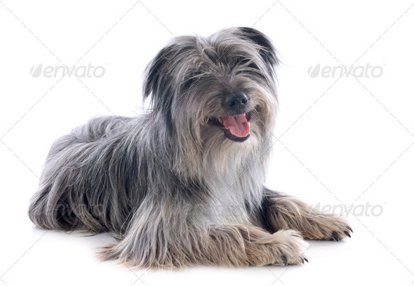 Pyrenean sheepdog - Stock Photo - Images
