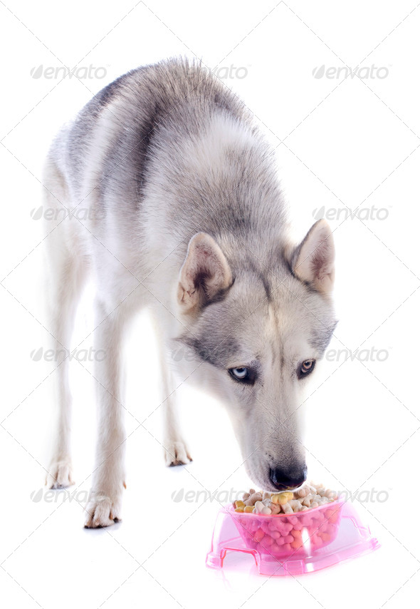 eating siberian husky - Stock Photo - Images
