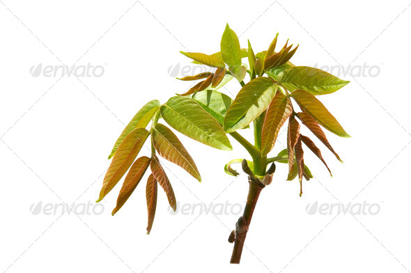 Green nut branch  on a white background. - Stock Photo - Images