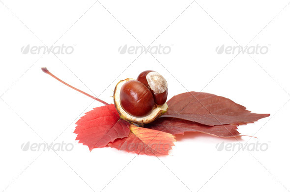 Splendid view of chestnuts and leaves. - Stock Photo - Images