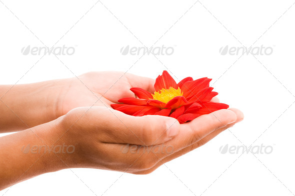 hands holding red flower - Stock Photo - Images