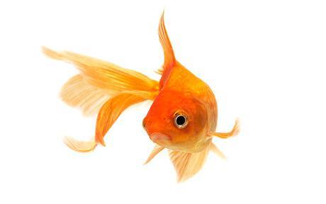 goldfishbrain