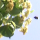Bees Collect Pollen from Small Leaved Linden - VideoHive Item for Sale