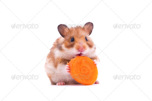 hamster on white - Stock Photo - Images