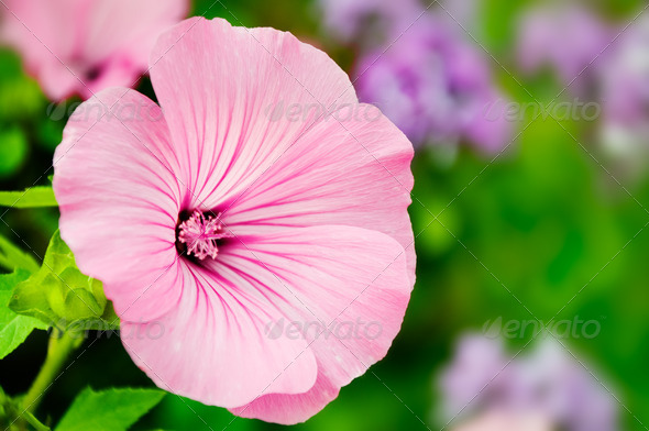 pink flower - Stock Photo - Images