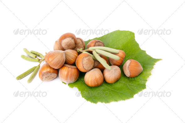 Wonderful view of hazelnuts with buds. - Stock Photo - Images