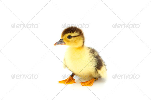 One duckling isolated on a whiteground. - Stock Photo - Images