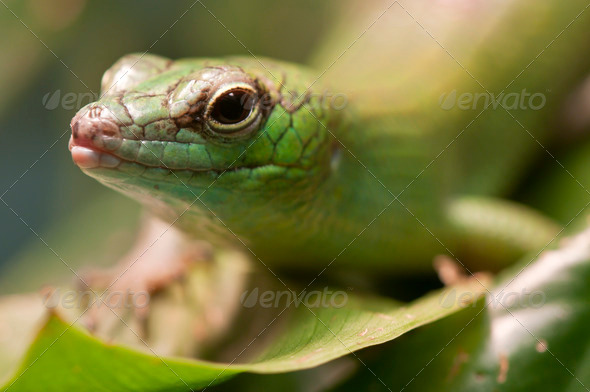 Green Lizard Closeup - Stock Photo - Images