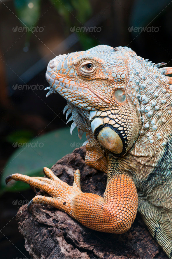 Tropical Iguana Lizard - Stock Photo - Images
