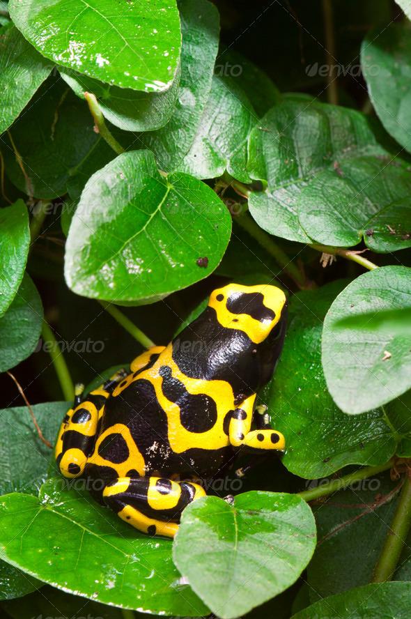 Dendrobates Poisnous Dart Frog - Stock Photo - Images