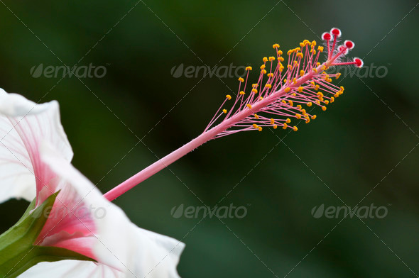 Ibiscus Flower Detail - Stock Photo - Images