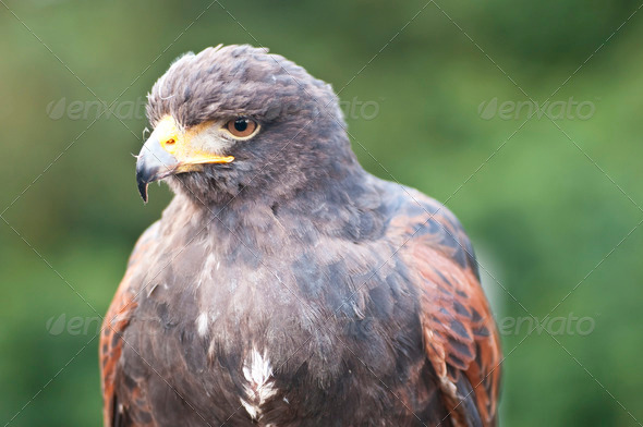 CLoseup of Bird of Prey - Stock Photo - Images