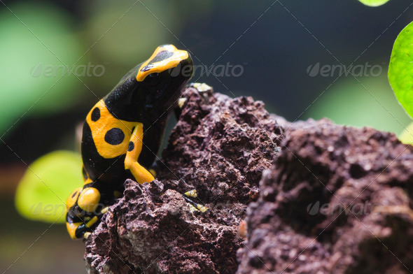 Poisnous Dart Frog Tropical Dendrobates - Stock Photo - Images