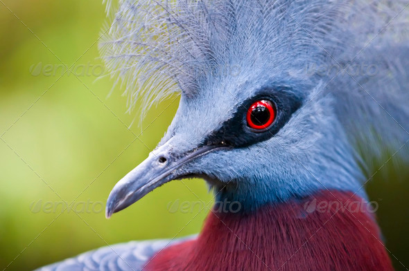 Victoria Crowned Pigeon, Goura victoria - Stock Photo - Images