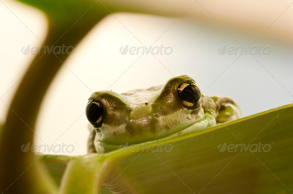 Green Frog eyes - Stock Photo - Images