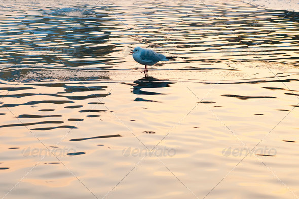 Seagull on Ice Water - Stock Photo - Images