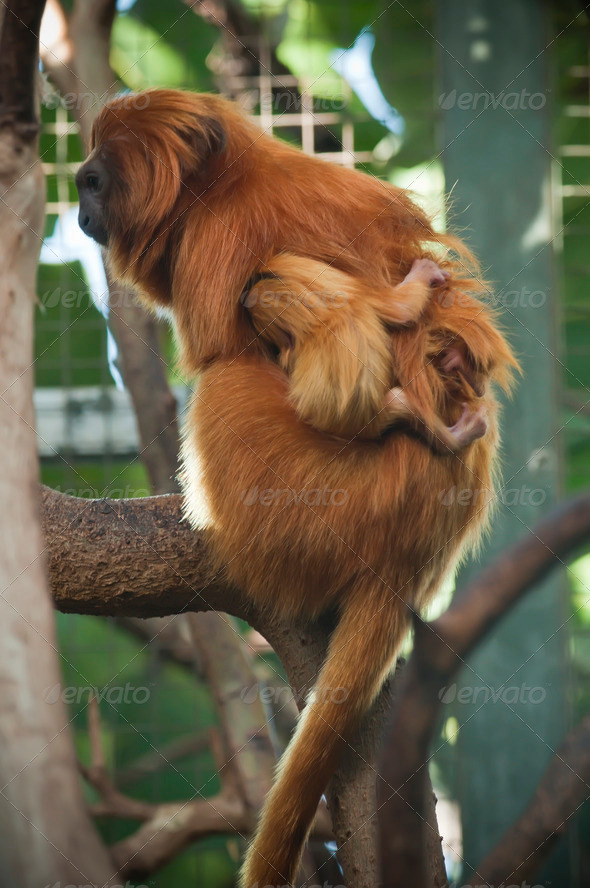 Lion Tamarin Monkeys - Stock Photo - Images