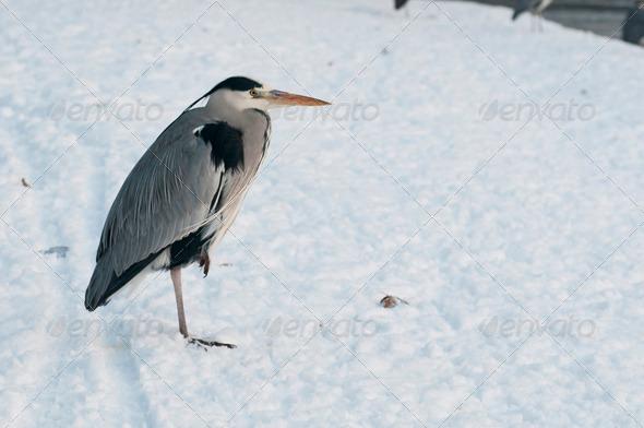 Grey Heron - Stock Photo - Images
