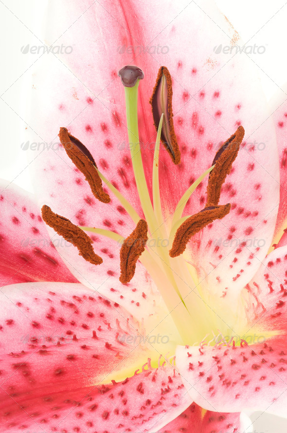 Detail of Lilium Flower - Stock Photo - Images