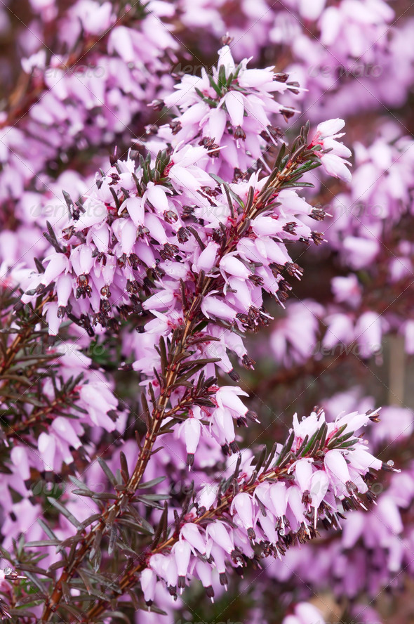 Purple Heather - Stock Photo - Images