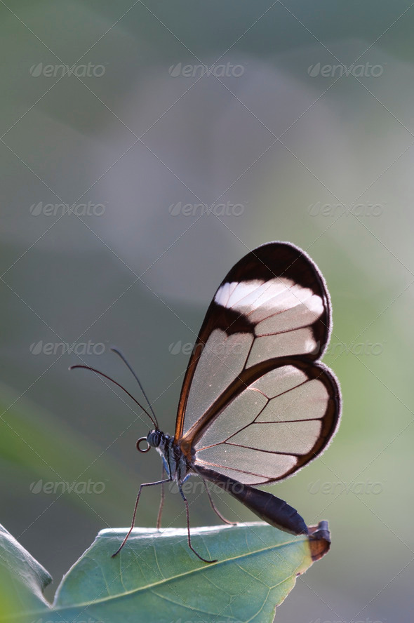 Glasswing Butterfly - Stock Photo - Images