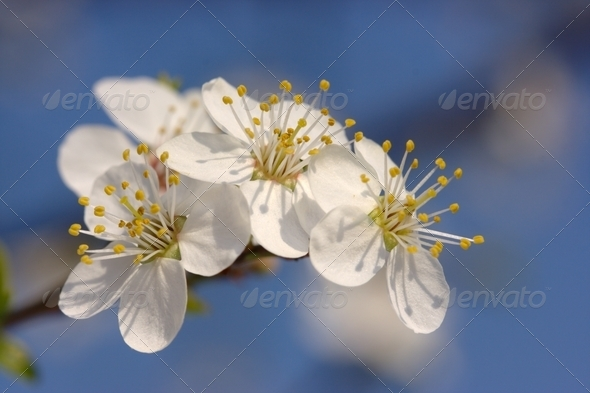 Cherry In Bloom - Stock Photo - Images