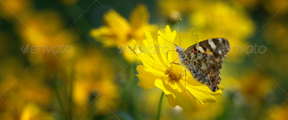 Painted Lady Butterfly On Mums - Stock Photo - Images