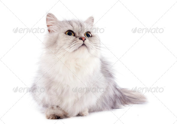 persian cat - Stock Photo - Images