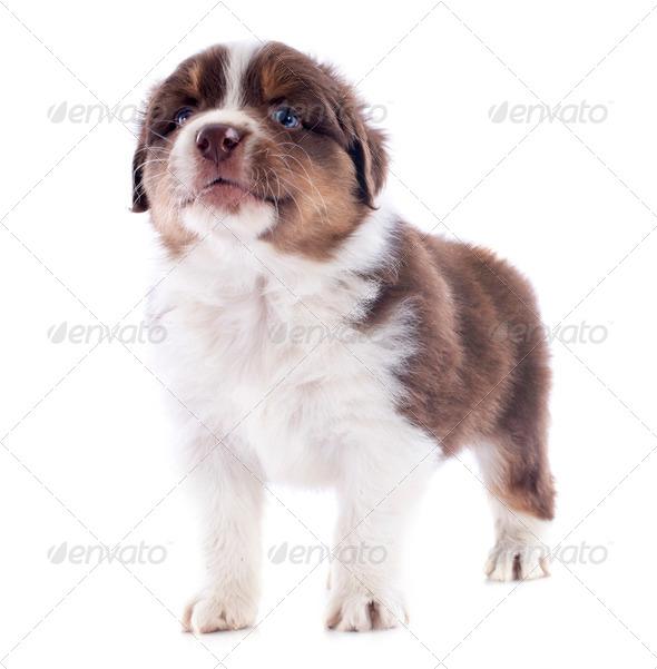puppy australian shepherd - Stock Photo - Images