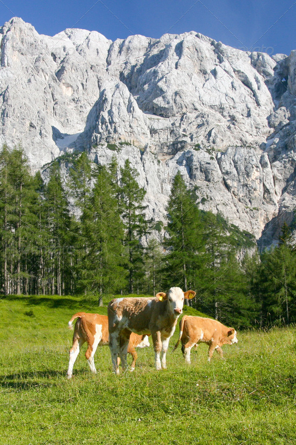 Cows in the Slovenian Alps - Stock Photo - Images