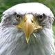 American Eagle Watching You - VideoHive Item for Sale