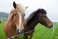 Chestnut Icelandic Horses - PhotoDune Item for Sale