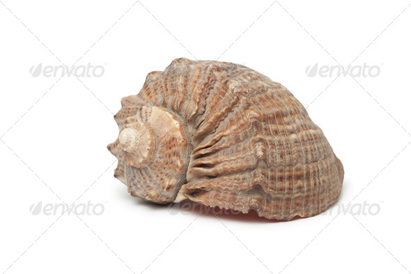 Seashell Isolated On White Background - Stock Photo - Images