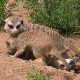 Playing Meerkat - VideoHive Item for Sale