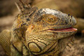Iguana Closeup - PhotoDune Item for Sale