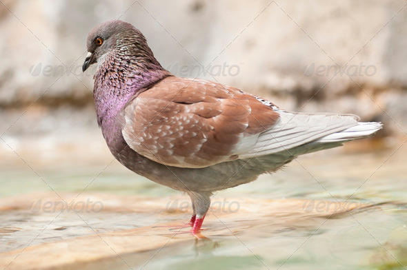 Brown Pidgeon in Water - Stock Photo - Images