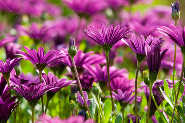 Purple Daisy Flower - Stock Photo - Images