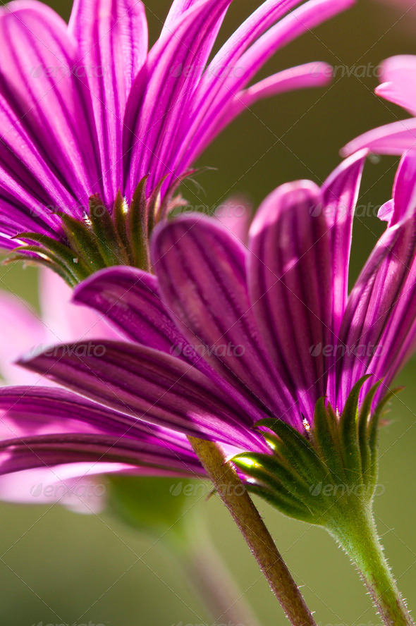 Purple Daisies - Stock Photo - Images