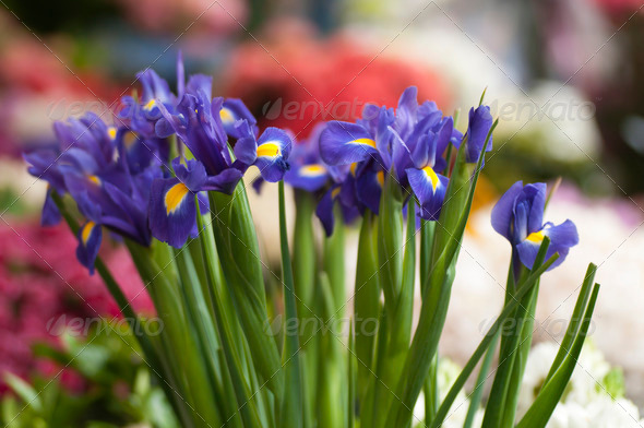 Iris Flowers - Stock Photo - Images