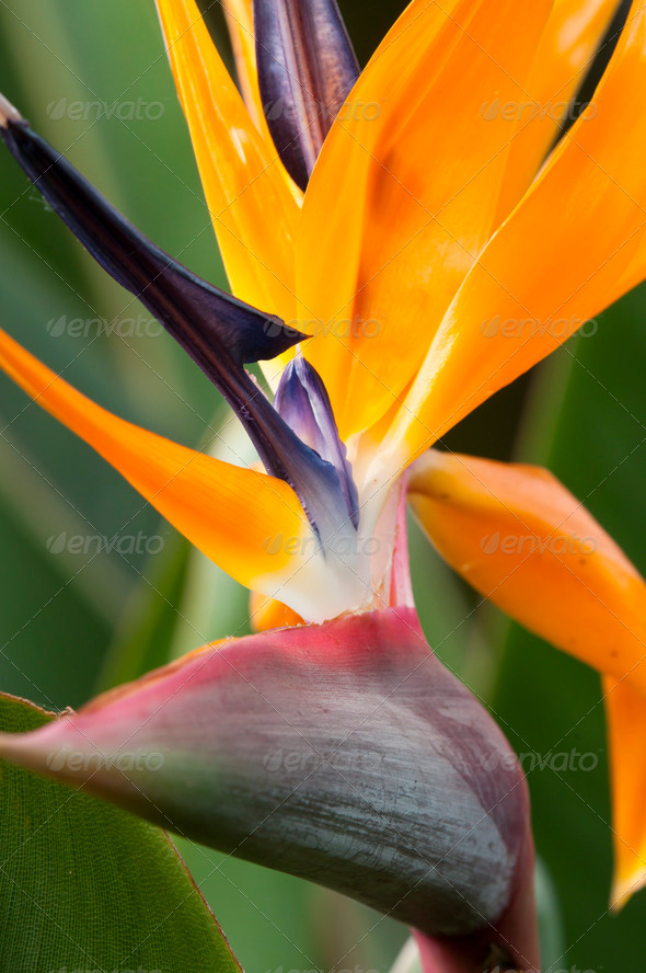 Bird of Paradise Flower - Stock Photo - Images