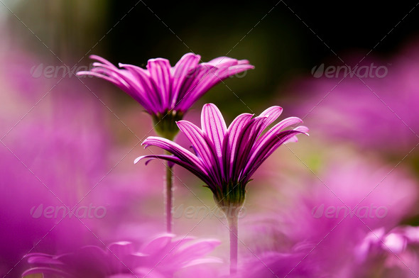 Purple Daisy Flowers - Stock Photo - Images