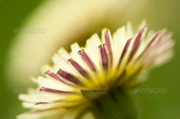 Dandelion Flower - Stock Photo - Images