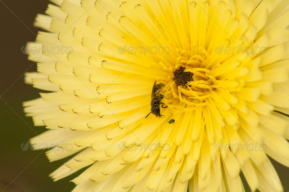 Dandelion with Insects - Stock Photo - Images