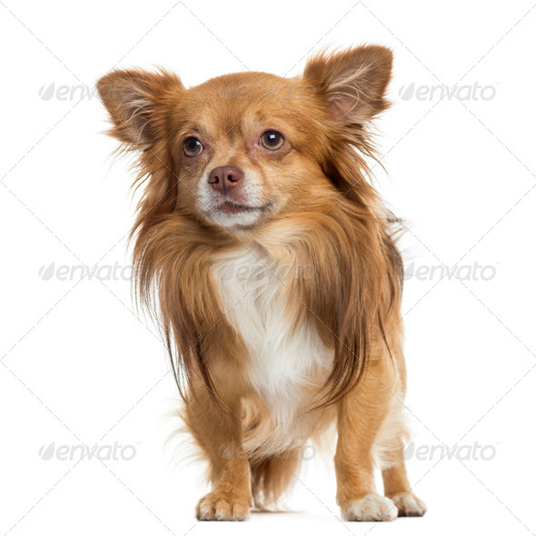 Chihuahua standing, isolated on white - Stock Photo - Images