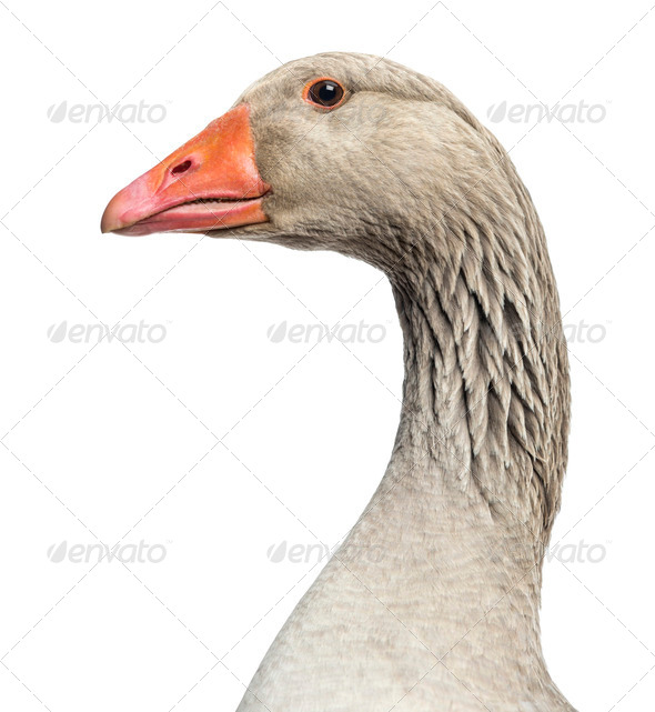 Close-up of a Domestic goose, Anser anser domesticus, isolated on white - Stock Photo - Images