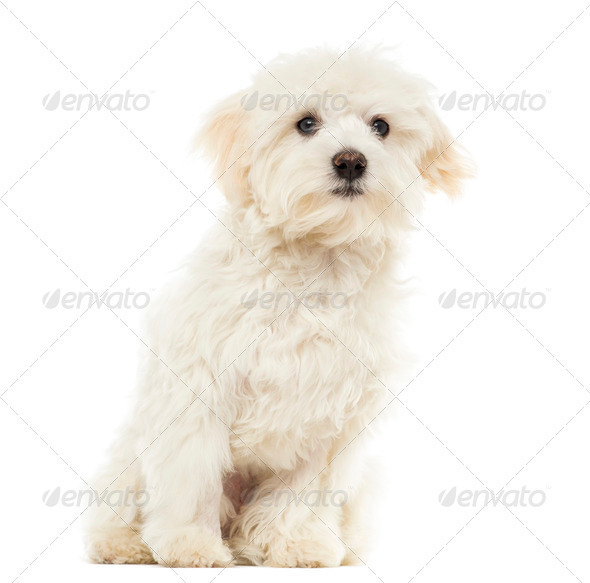 Maltese puppy sitting, 7 months old, isolated on white - Stock Photo - Images