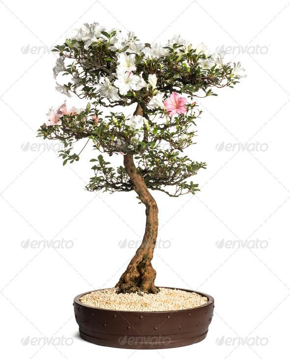 Azalea Bonsai Tree Rhododendron Isolated On White Stock Photo By Lifeonwhite
